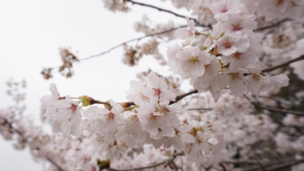 【 桜満開! 】古城公園がめちゃくちゃ美しい事に!出店もたくさんで超楽しい!